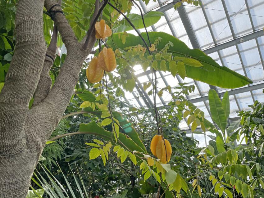 熱帯果樹室